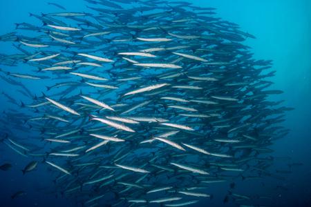 Schooling Barracuda in a blue water ocean