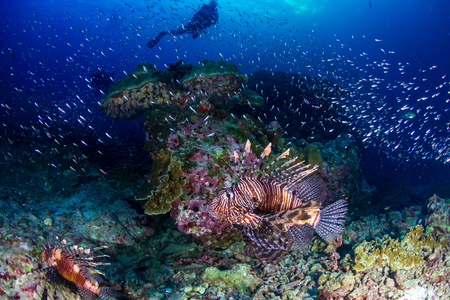 Background SCUBA divers watching colorful Lionfish on a tropical coral reef at sunset Stock Photo