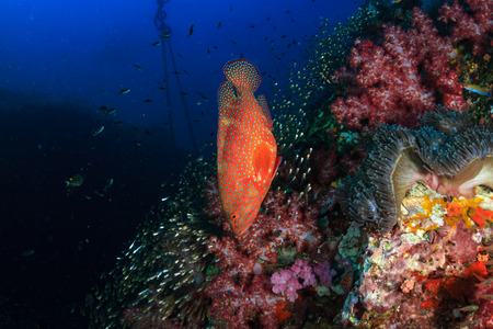Colorful Grouper swimming over a healthy tropical coral reef