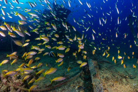 Large schools of colorful tropical fish swimming around an old, underwater shipwreck in the tropics (Boonsung) Foto de archivo