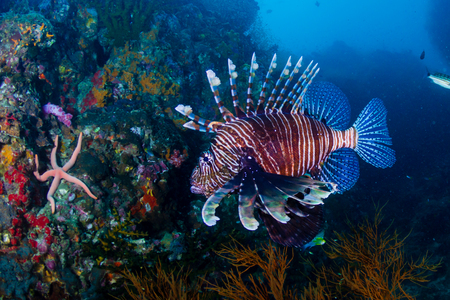 Colorful Lionfish patrolling a colorful tropical coral reef at sunset (Richelieu Rock, Thailand)