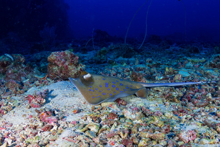 A bluespotted Kuhls Stingray on a deep tropical coral reef in the Similan Islands