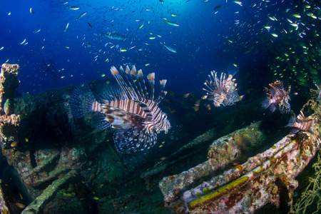 Beautiful Lionfish on an old shipwreck, surrounded by tropical fish at sunrise Stock Photo