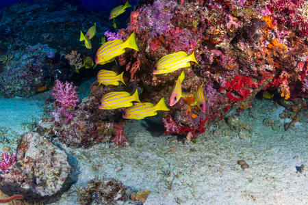Schools of colorful tropical fish swimming around a healthy, thriving tropical coral reef