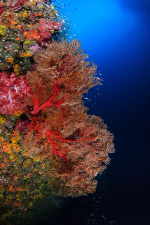 Beautiful, colorful tropical coral reef and tropical fish (Richelieu Rock) Reklamní fotografie