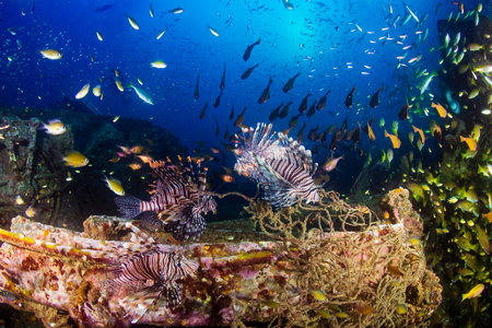 Beautiful Lionfish on an old shipwreck, surrounded by tropical fish at sunrise Archivio Fotografico