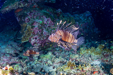 Lionfish patrolling the tropical coral reef of Ko Bon island at sunset Stock Photo