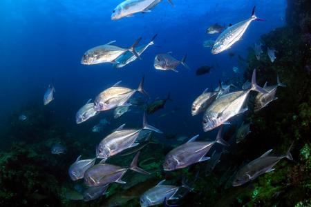 Trevally and other Jacks hunt on a tropical coral reef