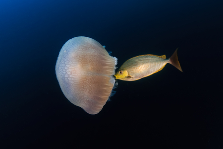 Large Jellyfish (Rhizostoma) being eaten by tropical fish Standard-Bild