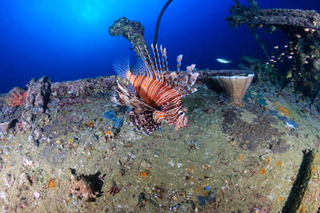 Beautiful colorful Lionfish swimming around an old underwater shipwreck at sunrise