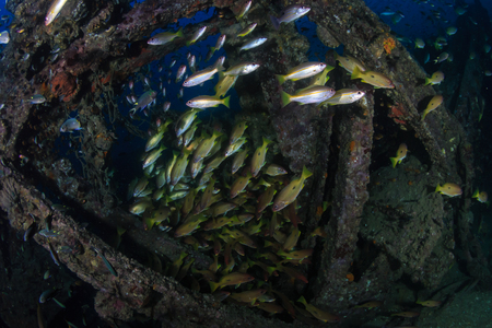 Beautiful schools of tropical fish swimming around an old, coral encrusted shipwreck