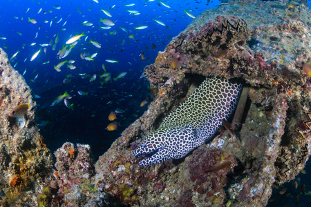 Large Honeycomb Moray Eel on an underwater shipwreck Reklamní fotografie - 115475942