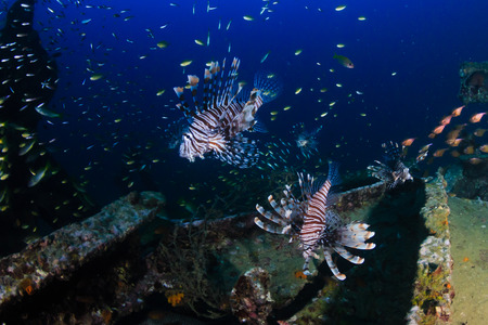 A group of Lionfish hunting around an underwater shipwreck at dawn