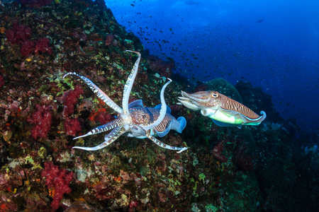Pharaoh Cuttlefish mating and laying eggs on a tropical coral reef Stok Fotoğraf