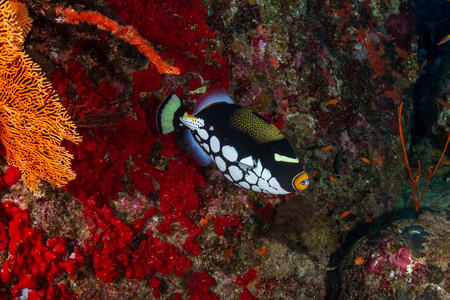 Beautiful Clown Triggerfish on a tropical coral reef