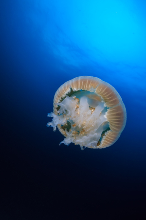 Large Jellyfish (Rhizostoma) floating in a blue, tropical ocean at sunset