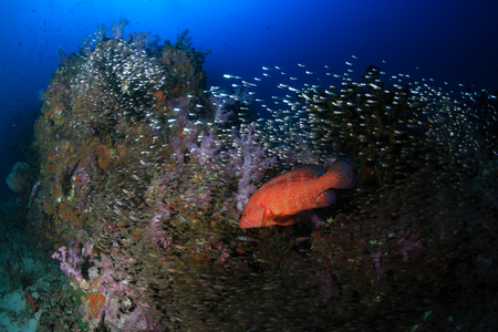 Colorful Coral Grouper swimming over a healthy tropical coral reef in Thailand