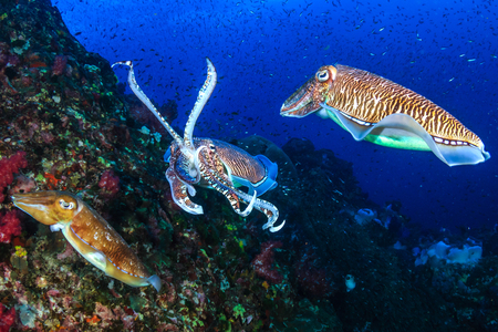 Pharaoh Cuttlefish mating and laying eggs on a tropical coral reef Imagens