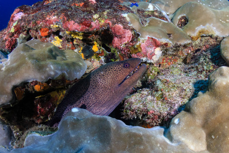Large Moray Eel hiding on a deep, dark tropical coral reef at dawn