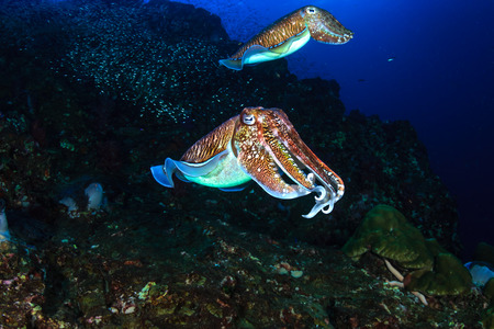 A pair of beautiful Cuttlefish on a tropical coral reef at sunset Imagens