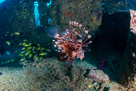 Colorful Lionfish hunting on a old, underwater shipwreck in a tropical ocean