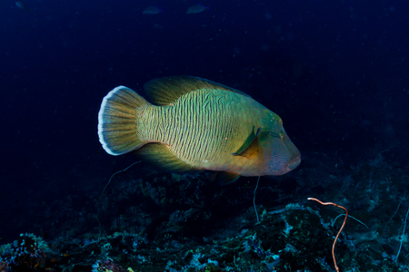 A large Napoleon Wrasse on a deep, dark coral reef Stock Photo