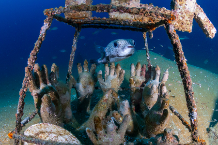 Large Porcupine Pufferfish on a colorful, old, underwater shipwreck in a tropical ocean
