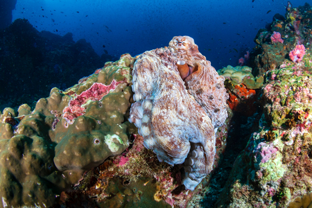 Large Day Octopus on a tropical coral reef (Richelieu Rock)