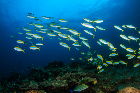 Colorful tropical fish around a healthy coral reef in Asia Stock Photo