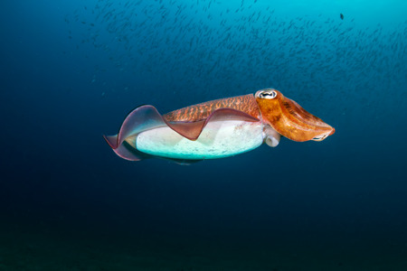 Colorful Cuttlefish on a old underwater shipwreck in a tropical ocean