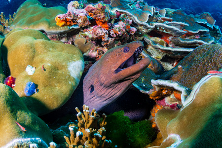 Giant Moray Eel hiding amongst hard corals on a tropical reef in the Similan Islands Stock Photo