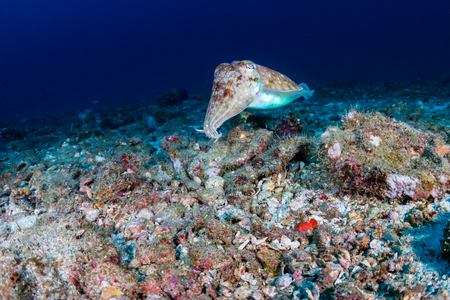 Pharaoh Cuttlefish on a colorful tropical coral reef Stock Photo