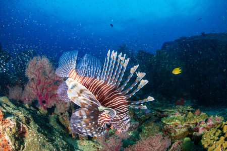 Colorful predatory Lionfish on a tropical coral reef at dusk