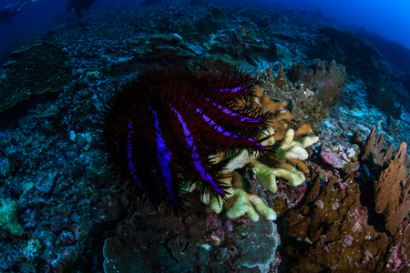 A colorful but damaging Crown of Thorns Starfish (Acanthaster planc) feeding on hard corals on a tropical coral reef