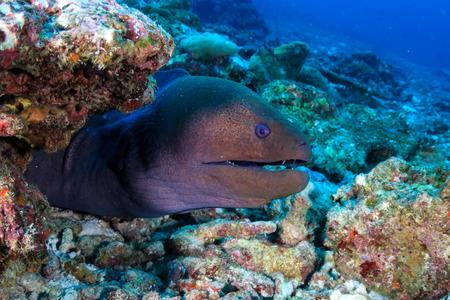 Een gigantische murene (Gymnothorax javanicus) op een tropisch koraalrif in Azië