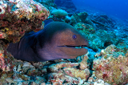 Una morena gigante (Gymnothorax javanicus) en un arrecife de coral tropical en Asia
