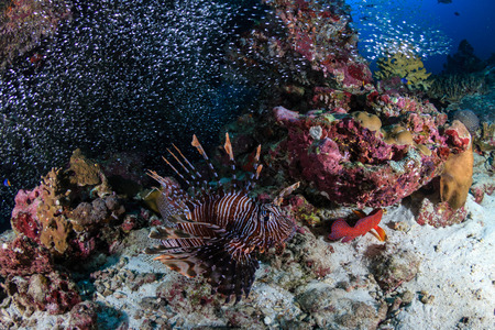 Predatory Lionfish patrolling a tropical coral reef at sunrise