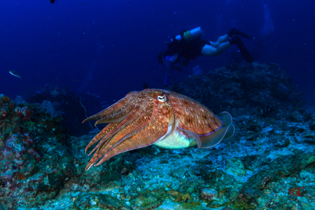Colorful and curious Pharaoh Cuttlefish (Sepia pharaonis) on a tropical coral reef in Thailand Stock Photo
