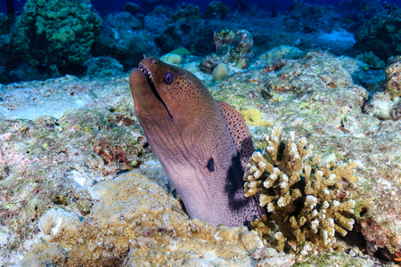 A Giant Moray Eel (Gymnothorax javanicus) on a tropical coral reef in Asia 版權商用圖片