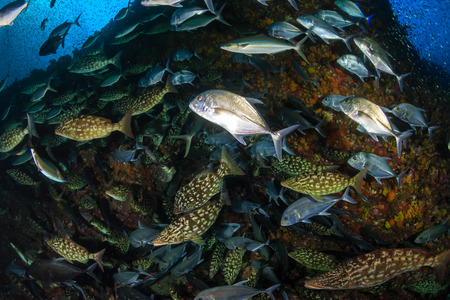 Long-nosed Emperor (Lethrinus olivaceus)  and Bluefin Trevally (Caranx melampygus) hunting together on a tropical coral reef at sunset (Richelieu Rock, Thailand)