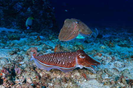 Colorful and curious Pharaoh Cuttlefish (Sepia pharaonis) on a tropical coral reef in Thailand 免版税图像