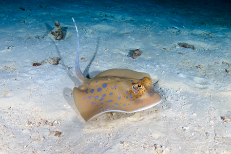 A Kuhl's Bluespotted Stingray hidden on the seafloor of a dark, tropical coral reef Stock Photo - 116863288