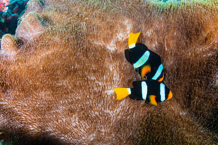 A family of Banded Clownfish in their host anemone on a tropical coral reef