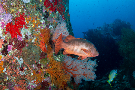 A colorful tropical coral reef at Koh Tachai island, Andaman Sea Reklamní fotografie