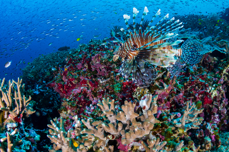 Colorful Common Lionfish (Pterois miles) swimming on a tropical coral reef in the Andaman Sea