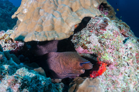 Giant Moray Eel in a coral reef hole