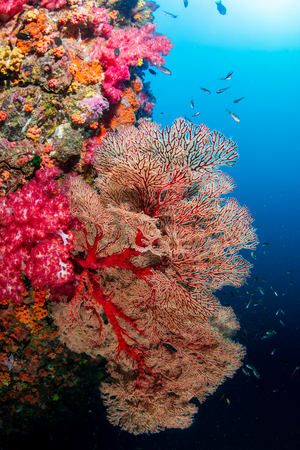 Brightly colored, healthy tropical coral reef (Richelieu Rock, Thailand)