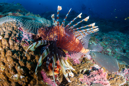 A Common Lionfish on a tropical coral reef