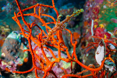 A delicate and well camouflaged Ornate Ghost Pipefish amongst soft corals on a tropical reef (Richelieu Rock, Thailand) Standard-Bild