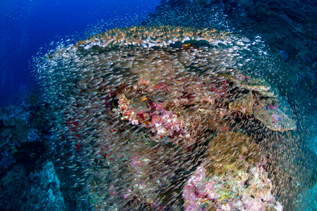 Colorful tropical fish around a thriving tropical coral reef in Asia Stock Photo
